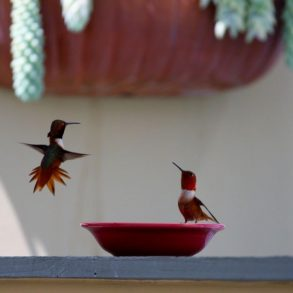 Hummingbird displaying above bowl with seated hummingbird