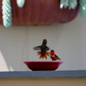 Hummingbird sitting on bowl